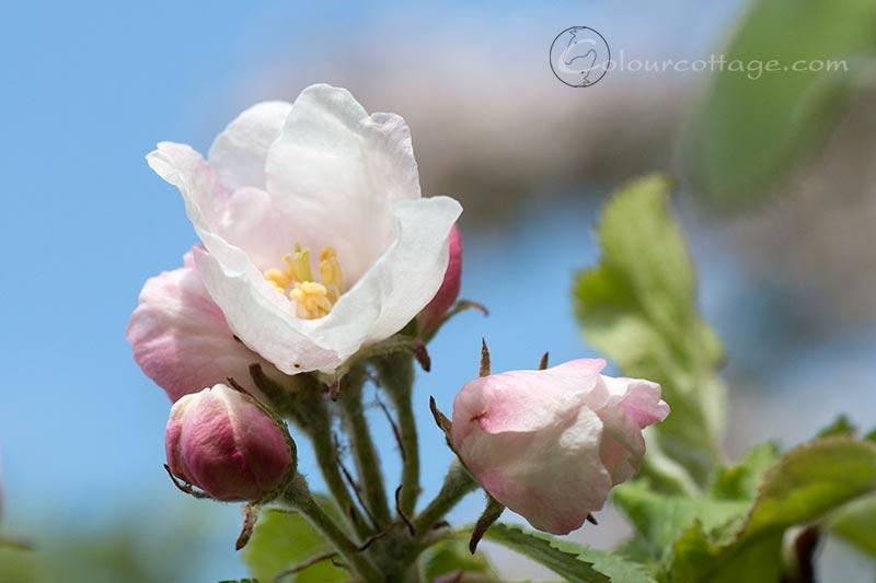 appleblossom03
